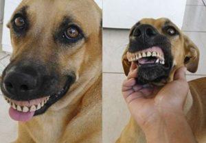 Вставные зубы и собака, как быть?