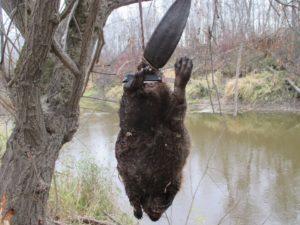 В Орловской области летом откроется охота на бобров