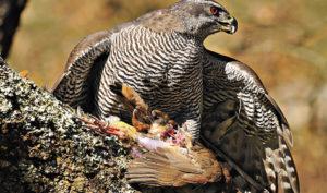 Охота сястребом насерых куропаток