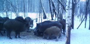 В лесах Мордовии остреляют почти всех кабанов